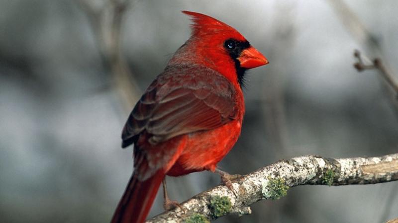 Cardinalbird