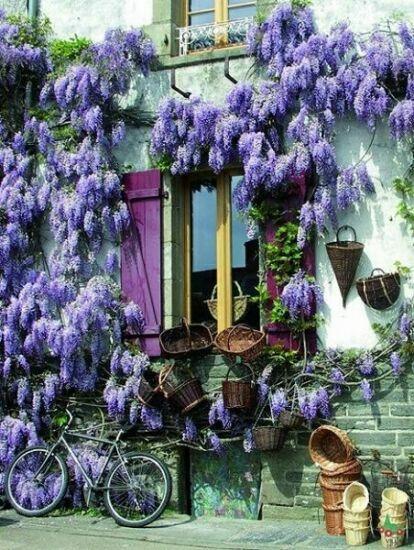 фиолетовые цветы картинки
