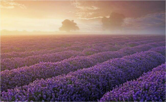 лаванда цвет