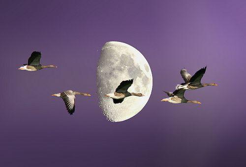 фиолетовые птицы