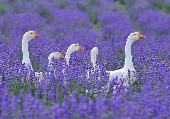 гуси в сиреневых цветах