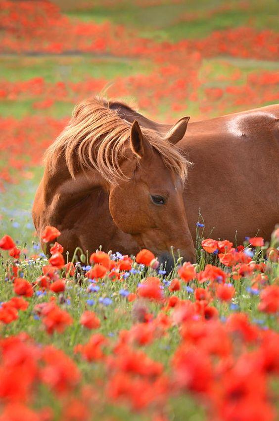 фото лошади среди маков