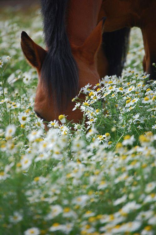 фото лошади среди ромашек