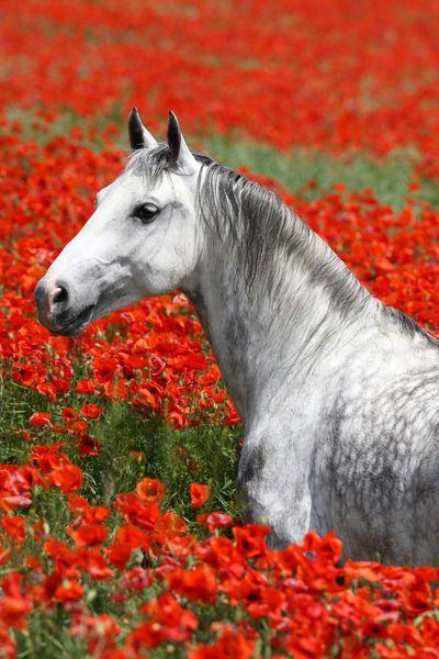лошадь среди маков