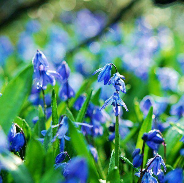 крокусы цветы на фото