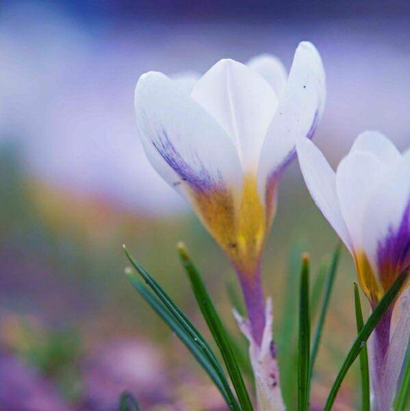 цветы крокусы фото