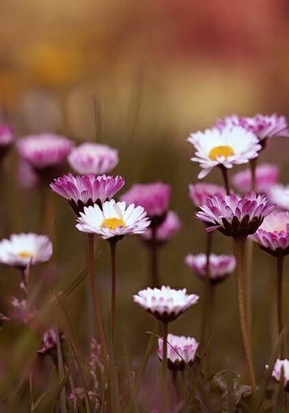 Цветы садовые фото