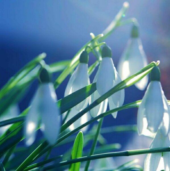 крокус цветок фото букета