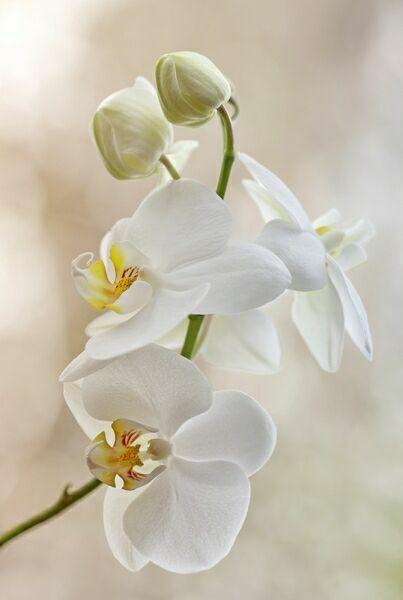 орхидеи картинки