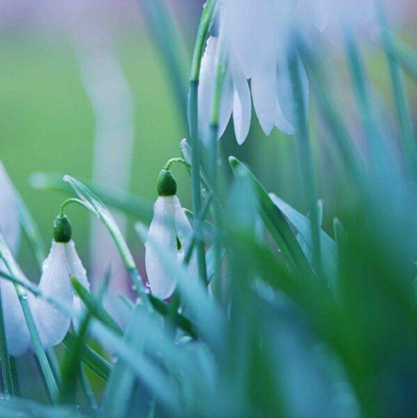 первые цветы весны крокусы фото
