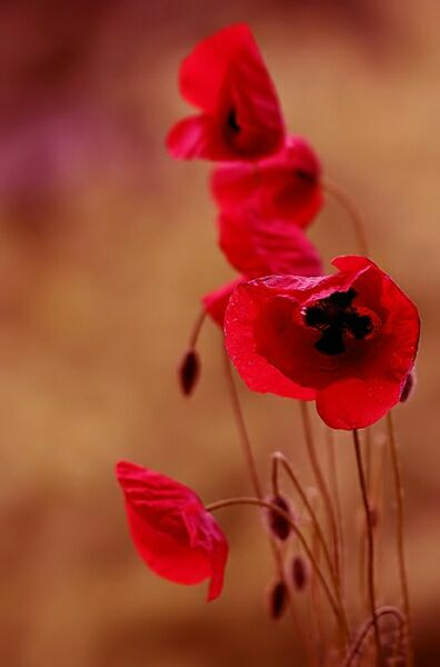 цветок мак фото Mycatherina Katka