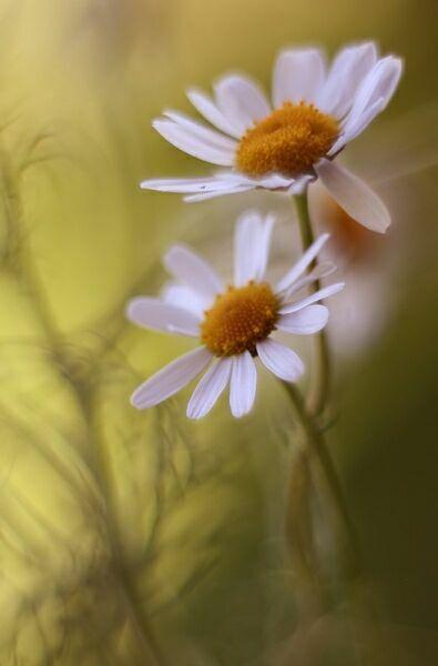 Ромашки полевые цветы
