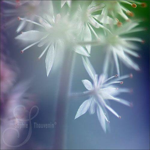 Sophie Thouvenin и нежность цветов
