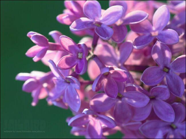 Цвет сирени фото