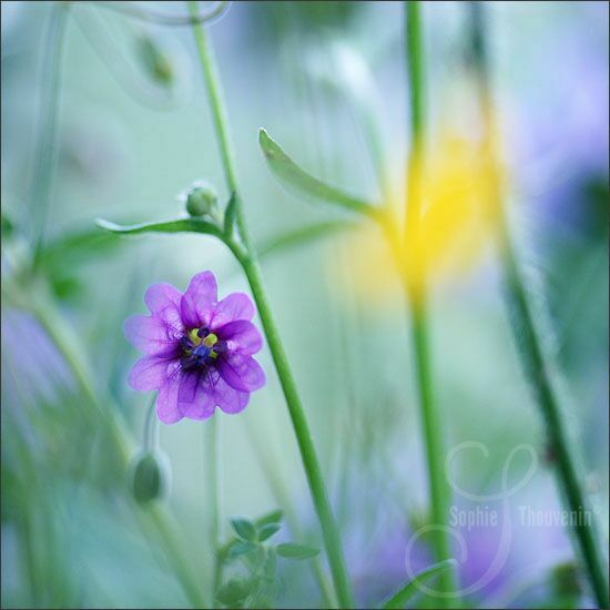 Sophie Thouvenin и нежные цветы