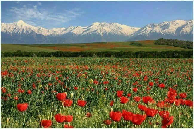 Маковое поле в Казахстане