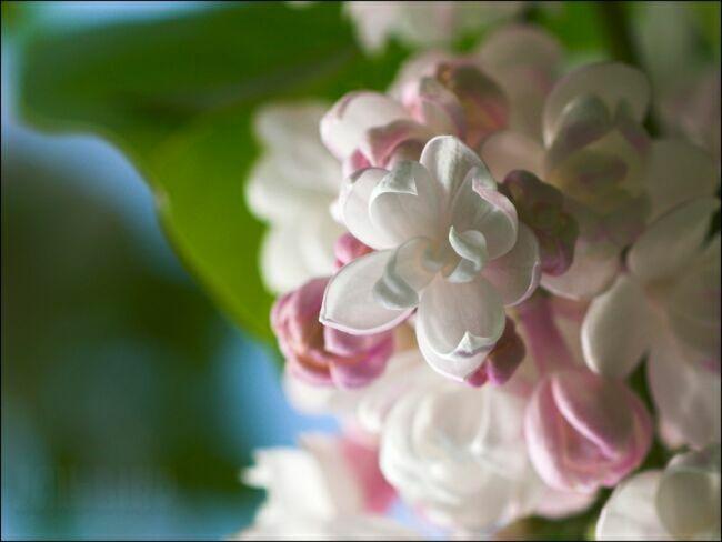 цветок сирени фото