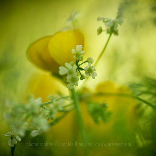 цветы Sophie Thouvenin