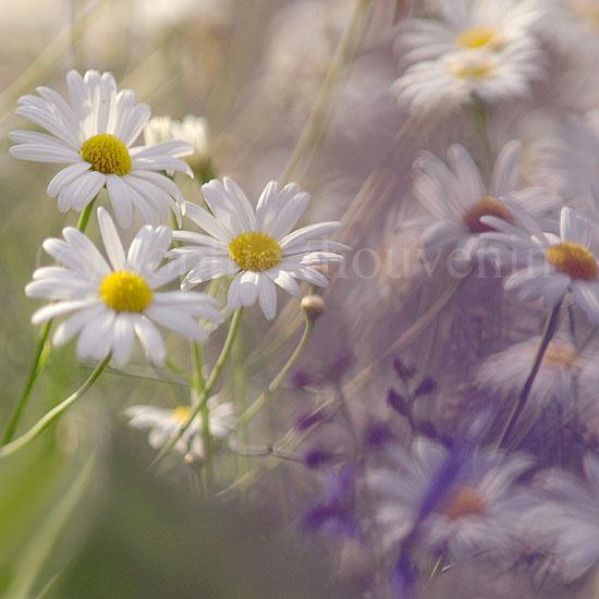 фотографии цветов sophie thouvenin