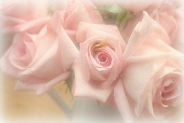 фото цветов розы