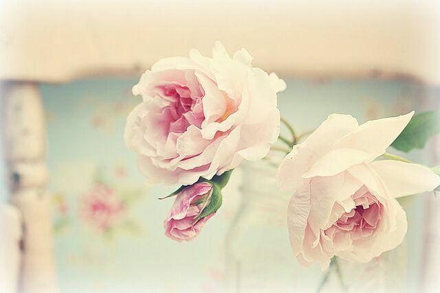 Розы цветы  фото Maria Starzyk