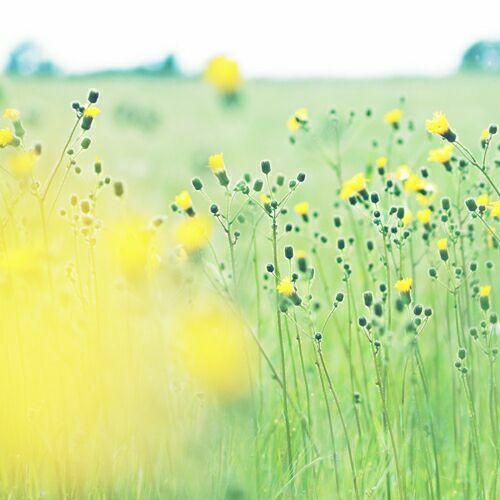 полевые и луговые цветы фото