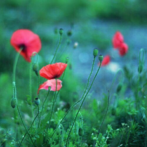 -полевые цветы маки фото