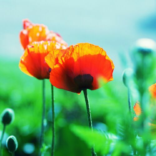 полевые цветы маки на фото