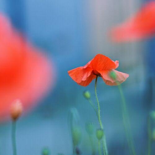 полевые красные цветы