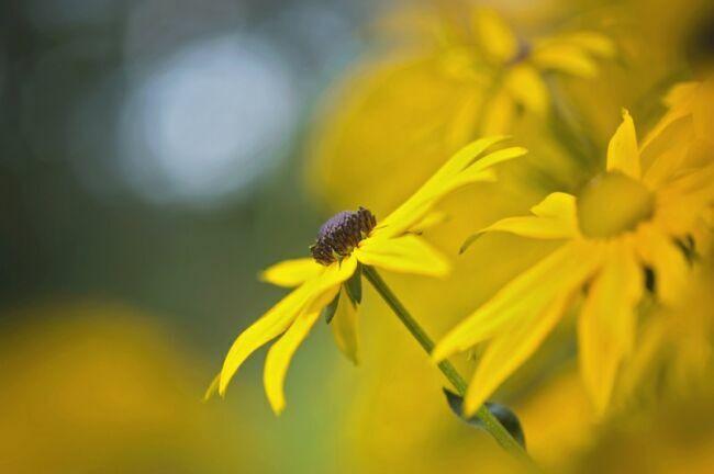 желтые летние цветы фото