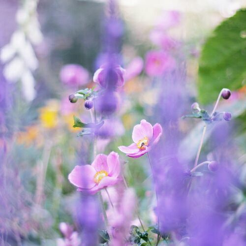 полевые сиреневые цветы