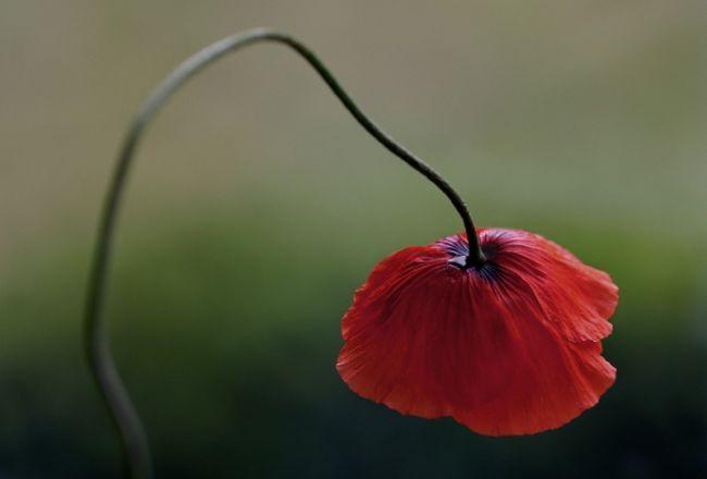 мак цветок на фото