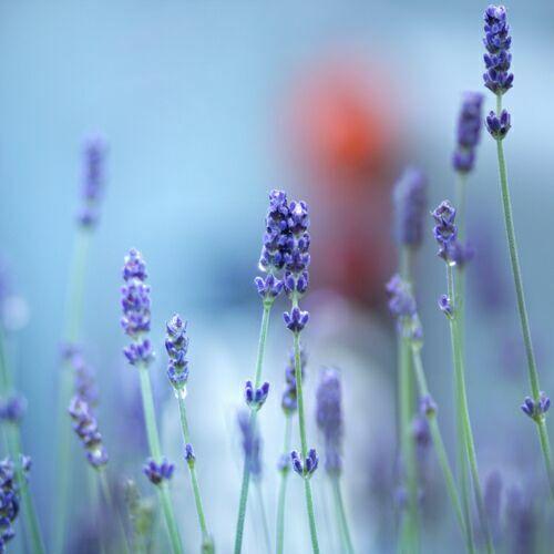 полевые фиолетовые цветы