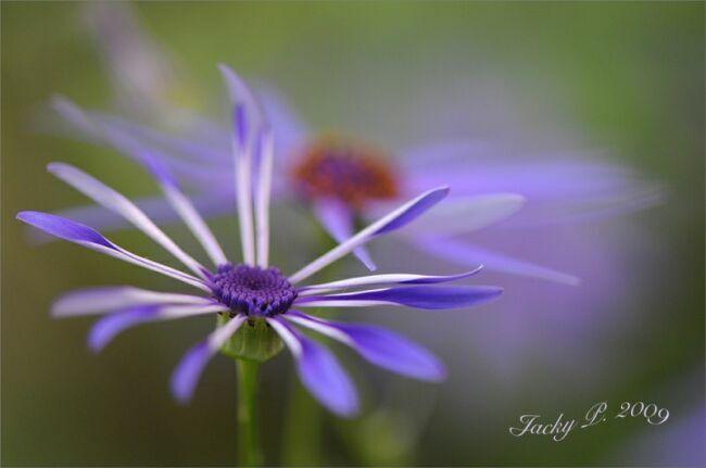 голубые летние цветы на фото