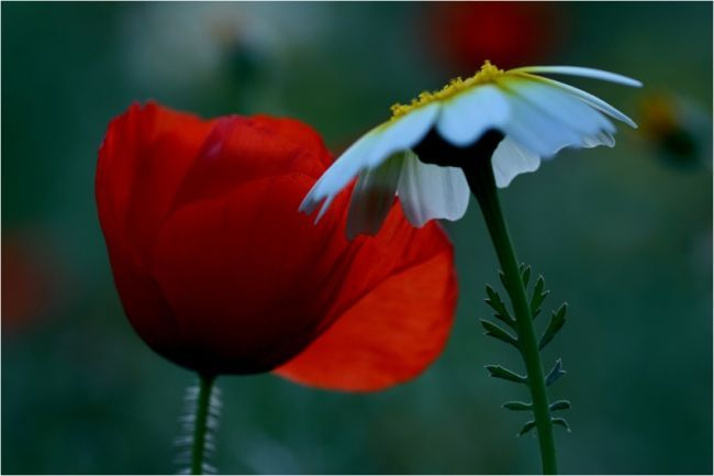 фото цветы маки ромашки