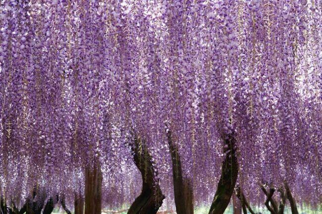 дерево глициния фото
