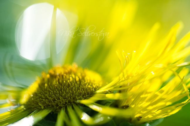 Солнечные цветы фото