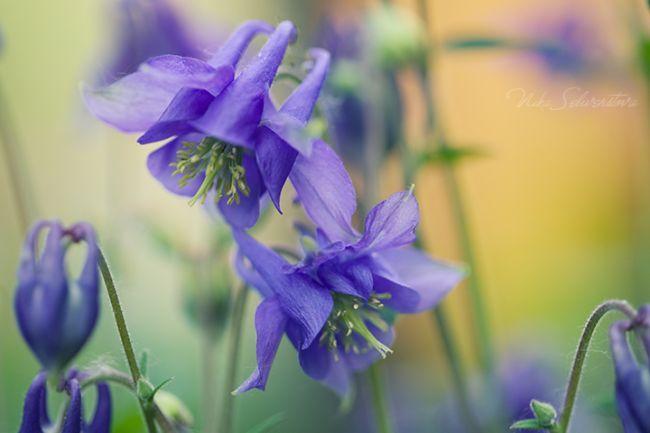 голубые цветы полевые