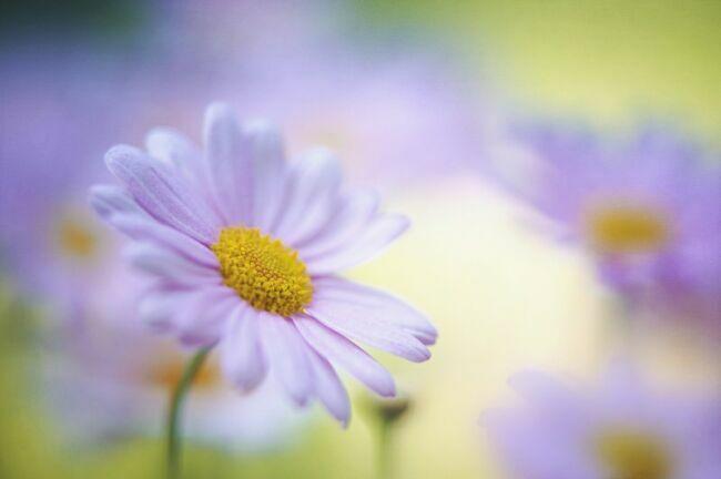 Летняя ромашка полевой цветок