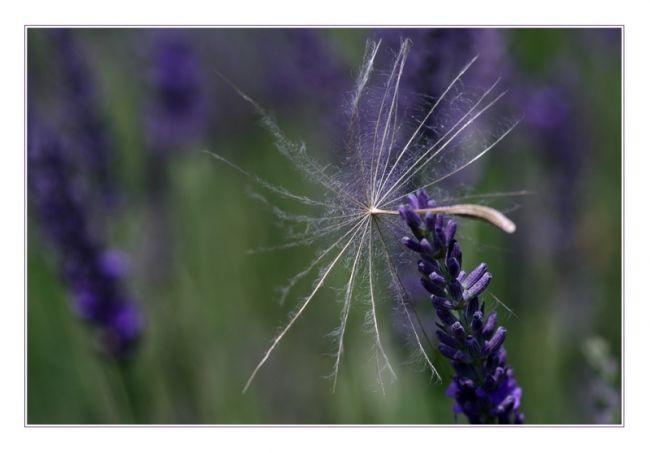 фиолетовая лаванда