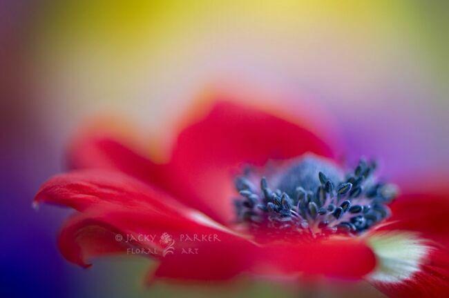 цветы летние мак на фото