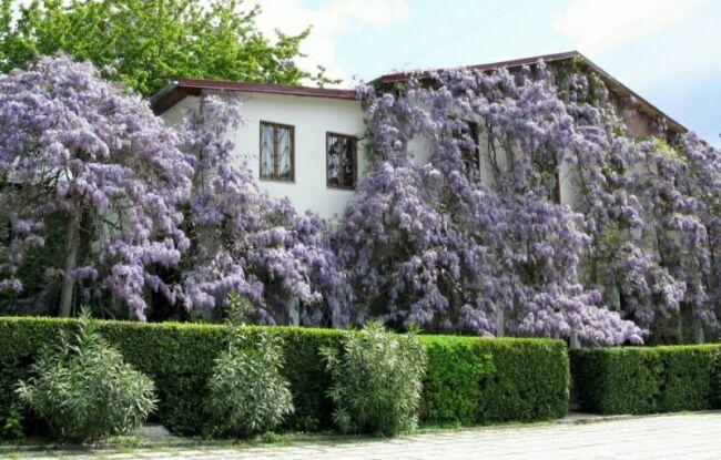 глициния садовая