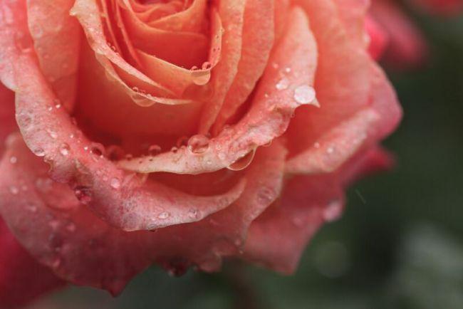 фото цвеов розы