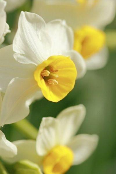нарциссы красивые цветы на фото