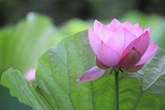 розовый лотос цветок