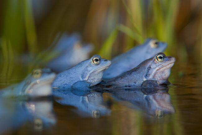 голубые лягушки