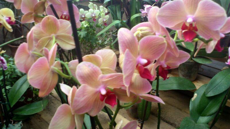 Орхидея цветок что символизирует