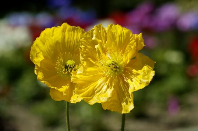 желтый мак на фото