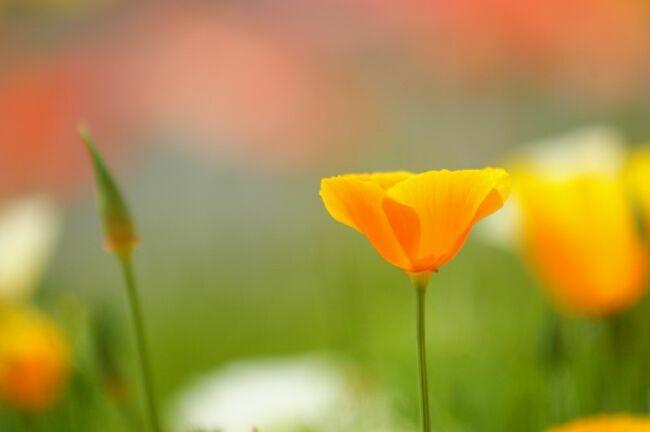 желтый калифорнийский мак