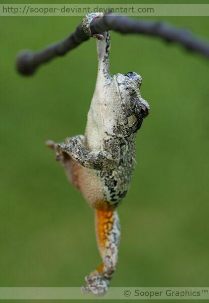 Лягушка-акробатка